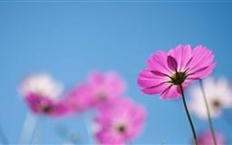 Pink Cosmos Flowers Mac wallpaper