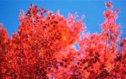 Red Tree Mac wallpaper