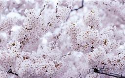 Sakura Vintage Mac wallpaper