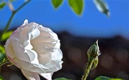 Blossoming Flower Mac wallpaper