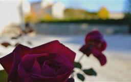 Burgundy Roses Mac wallpaper