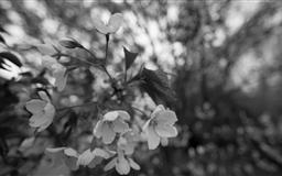 Cherry Blossom Twig Mac wallpaper