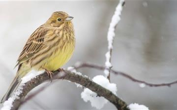 Yellowhammer In A Snowfall Mac wallpaper