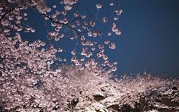 Cherry Blossoms Night Mac wallpaper