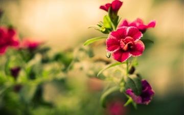Red Blurry Flower Mac wallpaper