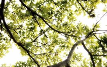Sunlight Thru Large Tree Mac wallpaper