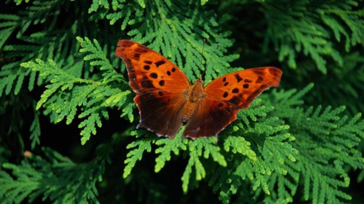 Brown Butterfly Mac Wallpaper