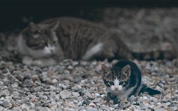 Curious Kitten Mac wallpaper