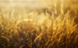 Golden Field Mac wallpaper