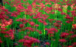 Red Spider Lily Field Mac wallpaper