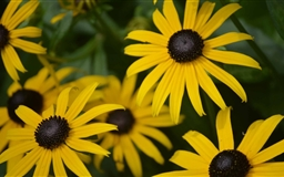Rudbeckia Hirta Mac wallpaper