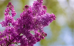 Spring Lilac Flower Mac wallpaper