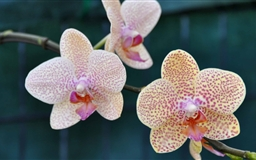 Three Orchids Mac wallpaper