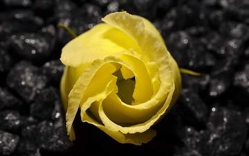 Yellow Flower Black Background Mac wallpaper