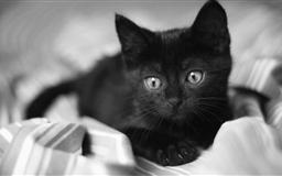 Black Kitten Mac wallpaper