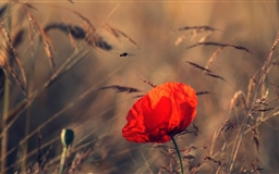 Red Poppy Mac wallpaper