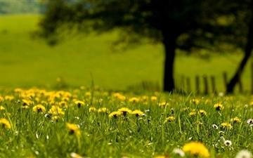 Yellow Dandelion Field Mac wallpaper
