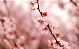 Cherry Blossom Mac wallpaper
