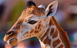 Portrait Of A Baby Giraffe Mac wallpaper