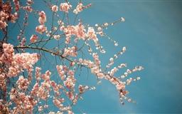 Blossom tree Spring Mac wallpaper