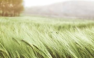 Green Wheat Mac wallpaper