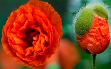 Poppy Flower Mac wallpaper