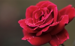 Red Rose Flower Macro Mac wallpaper