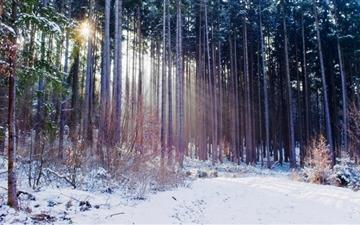 Thin Trees Winter Mac wallpaper
