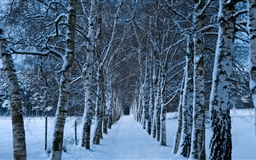 Birch Trees Alley Winter Mac wallpaper