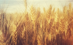 Grain Field Mac wallpaper