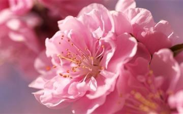 Prunus Flowers Macro Mac wallpaper