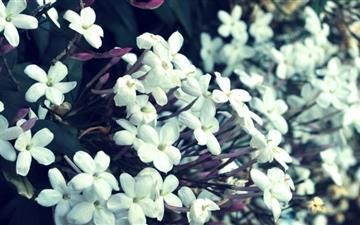 Tiny White Flowers Mac wallpaper