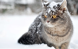 Cat Winter Mac wallpaper