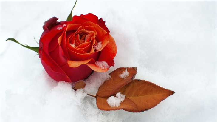 Winter Rose Mac Wallpaper