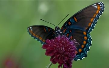 Swallowtail Butterfly Mac wallpaper