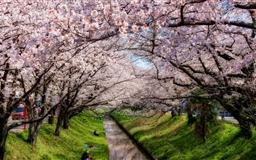Iga River And Sakura Mac wallpaper