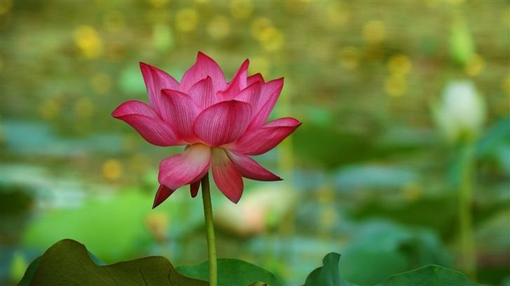 The Lotus Mac Wallpaper
