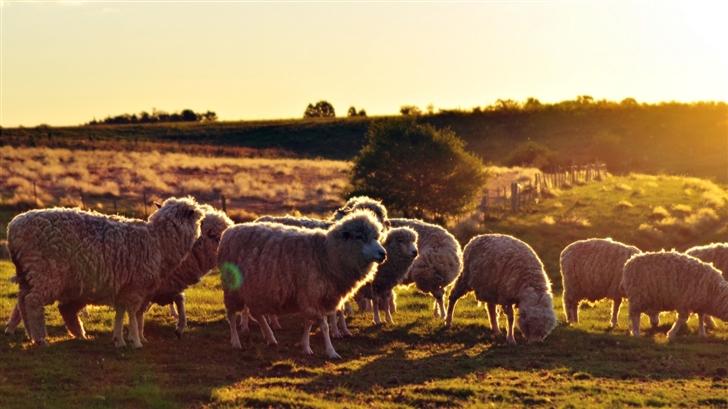 Sheeps In The Sun Mac Wallpaper