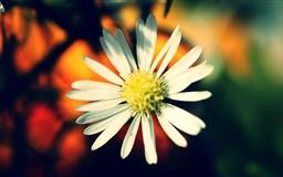 White Daisy Petals Mac wallpaper