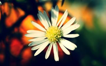 White Daisy Petals Mac wallpaper