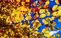 Blue Sky Yellow Leaves Mac wallpaper