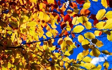 Blue Sky Yellow Leaves Mac wallpaper