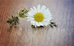 Daisy Macro Mac wallpaper