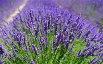 Lavender Plants Mac wallpaper