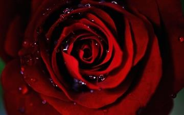 Dark Red Rose Mac wallpaper
