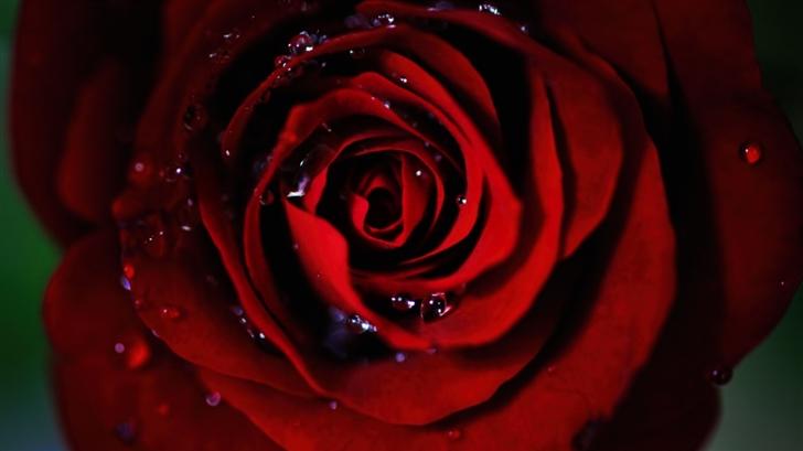 Dark Red Rose Mac Wallpaper