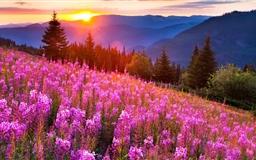 Pink Meadow Sun Mac wallpaper