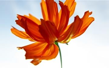 Orange Cosmos Flower Mac wallpaper