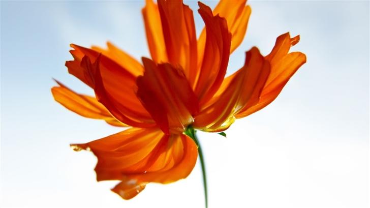 Orange Cosmos Flower Mac Wallpaper