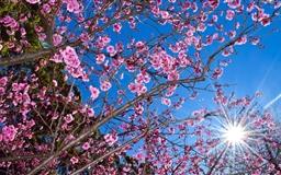 Cherry Blossom Mac wallpaper
